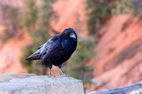 A Friendly Raven at Bryce