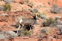 Big Horn Sheep at Valley of Fire